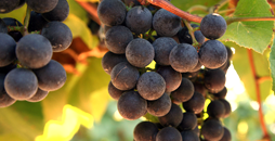 Lake Erie Region grapes such as the ones shown here are used in our wines at Conneaut Cellars Winery.